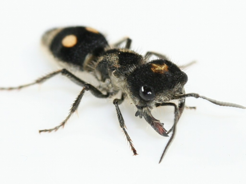 ANTSTORE World of Ants • Bild ansehen - Mutillidae spec. Costa rica ...