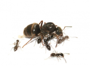 Perfect Lasius Niger (Black Garden Ant)