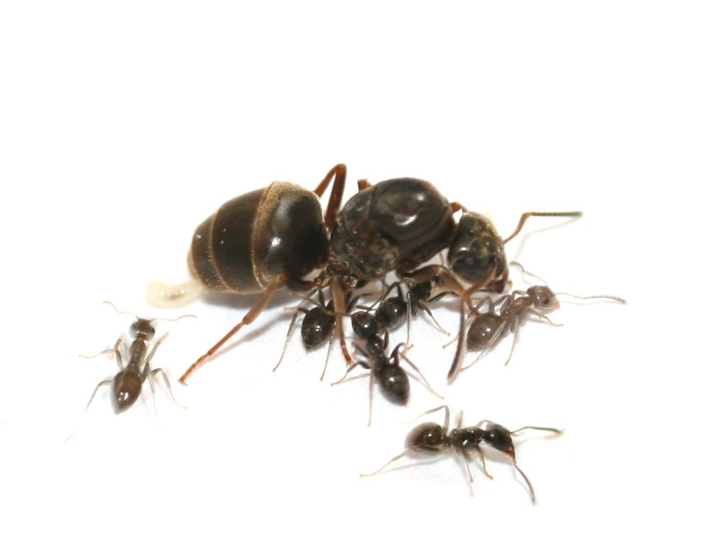 我国黑龙江记录到此蚁捕食杨干象幼虫.