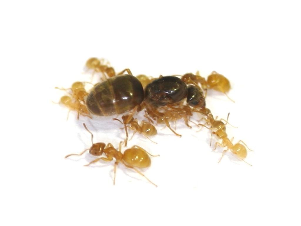 antstore ameisenshop ameisen kaufen lasius flavus. Black Bedroom Furniture Sets. Home Design Ideas