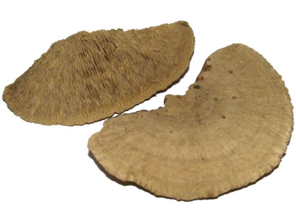 Antstore ameisenshop ameisen kaufen baumpilz for Einrichtung deko shop