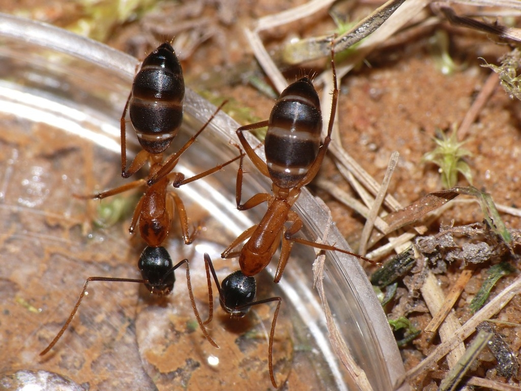 Camponotus Consobrinus Queen Ant | Other Pets | Gumtree
