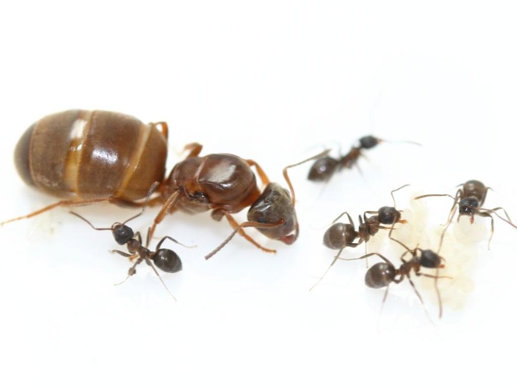 antstore ameisenshop ameisen kaufen lasius brunneus. Black Bedroom Furniture Sets. Home Design Ideas
