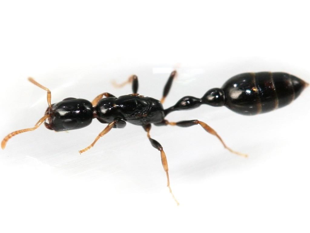 Image result for tetraponera allaborans